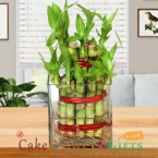 send 2 Layer Lucky Bamboo Plant delivery