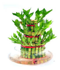3 Layer Lucky Bamboo In Round Vase